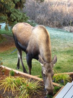 Hungry Anchorage, Alaska backyard visitor. #Moose Photo: Pete Brown via L.L.Bean Facebook