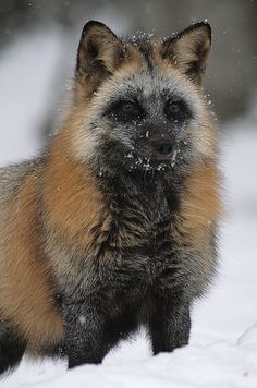 93 Best Wolves And Foxes Images On Pinterest In 2018