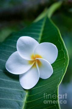 Ahui Pua Melia O Waianapanapa - Tropical Plumeria by Sharon Mau.