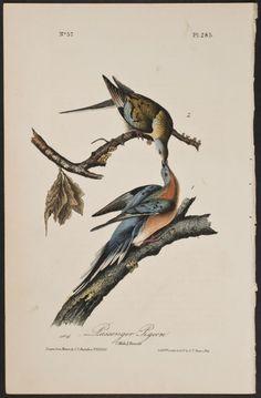 Audubon - Passenger Pigeon. Billions in North America hunted to extinction.