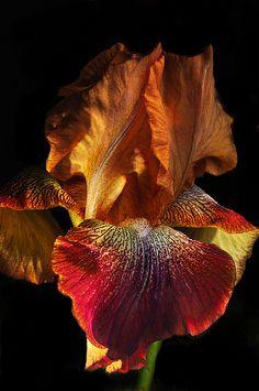 Easter Iris