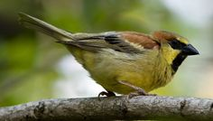 Plain Backed Sparrow (Passer flaveolus )  gary1844