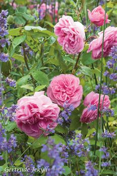 Rose 'Gertrude Jekyll' a David Austin Rose. Easy to grow and amazingly fragrant. Lurid pink and packed with petals.