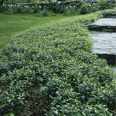 Image detail for -Gallery | myrtle ground cover garden