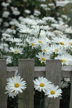 White daisies peaking through a picket fence! Love this!!