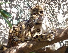 Clouded leopard, holding the high ground.  (You tell her she can't have it)
