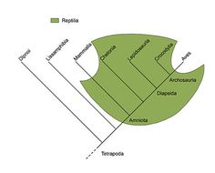 Reptilia (green field) is a paraphyletic group comprising all amniotes (Amniota) except for two subgroups Mammalia (mammals) and Aves (birds); therefore, Reptilia is not a clade. In contrast, Amniota itself is a clade, which is a monophyletic group.