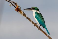 Collared Kingfisher (Todiramphus chloris) A bird perched on a wire