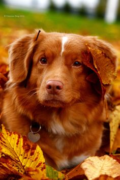 Tinka ~ Nova Scotia Duck Tolling Retriever ~ Classic Look