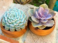 Two of a kind Echeveria Succulent on Etsy, $25.99
