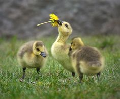Ducklings Playing With Dandelion