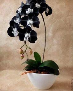 Excellent Photo black Orchid Flower Suggestions Have you got a lovely orchid in your own home that you aren't quite positive exactly how to maintain? Unusual Flowers, Rare Flowers, Amazing Flowers, Beautiful Flowers, Orchids Garden, Orchid Plants, Moth Orchid, Orchid Flowers, Black Orchid