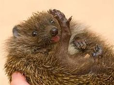Výsledek obrázku pro ježek