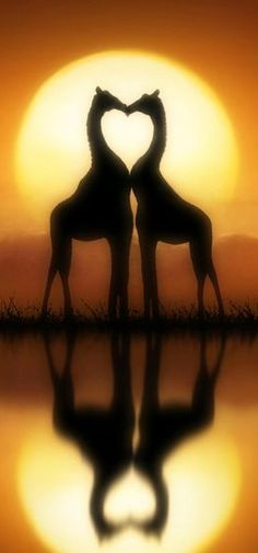 'It must be love' Giraffes at sunset by Jenny Woodward