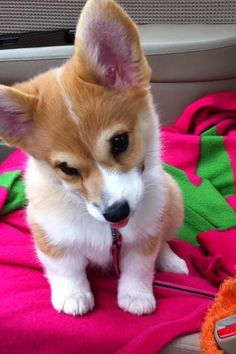 Corgi puppy - I'm adorable? Aww shucks.