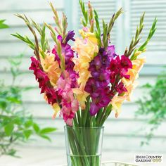 Plant the Gladiolus Mardi Gras Mixture and get a spunky mix of summer color with purple, pink and peach-colored blooms. Create gorgeous cut-flower arrangements with this mix. It has the perfect combination of hues. Gladiolus Arrangements, Gladiolus Bulbs, Gladiolus Flower, Flower Arrangements Simple, Gladiolus Tattoo, Indoor Flowers, Bulb Flowers, Flower Vases, Flowers Garden