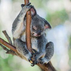 Super cute Koala snoozing.... #koala #queensland #currumbin #currumbinwildlifesanctuary #cute #sleepy #furry #critter #australia #oz by simontaylorthephotoshop http://ift.tt/1X9mXhV