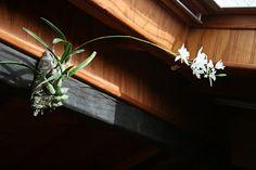 Las orquídeas de Iván Arroyo.  Laelia albida