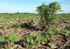 Compiten con los cultivos, interfieren durante la cosecha y generan pérdidas que llegan a los 1.300 M de dólares por año. Monitoreo, planificación y rotación, las principales estrategias para su control. En los últimos años, los sistemas agrícolas ex