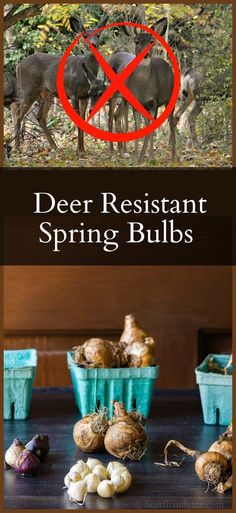 Deer resistant bulbs choices to plant in the spring garden. Thought not foolproof, this list stands a better chance of survival against deer and rodents.