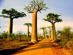 Avenue of the Baobabs --- The Avenue or Alley of the Baobabs is a prominent group of baobab trees lining the dirt road between Morondava and Belon'i Tsiribihina in the Menabe region in western Madagascar. Its striking landscape draws travelers from around the world, making it one of the most visited locations in the region