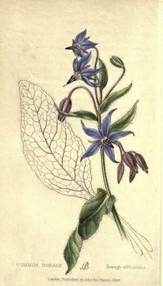 Borage - Borago officinalis - 1858 Boraga: http://zdravplanet.blogspot.com/2008/10/boraga-borago-officinalis-l.html