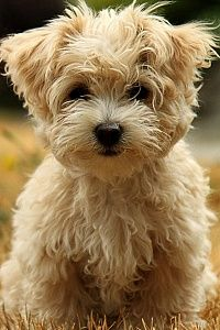 Havanese Silk Dog.... My heart is melting for you! This made me think of you...@Theresa Burger Burger Burger Burger Moening