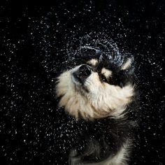 Shake it like a wet dog Charles Darwin, I Love Dogs, Puppy Love, Slow Motion Photography, Dog Shaking, Tibetan Mastiff, Shake It Off, Pet Health, Funny Faces