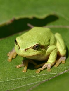 This little guy jumped on me when I was cleaning the porch (TWICE).  The first time I screamed...the second time, I just jumped a bit!  CUTE!! tree frogs - Google Search