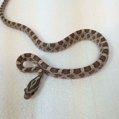 Ghost Corn Snakes for sale (Pantherophis guttata) Corn Snakes For Sale, Danger Noodle, Snake Photos, Reptile Room, Pet Snake, Reptiles And Amphibians, First They Came, Sharks, Frogs