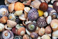 scilly shells