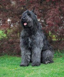 bouvier des flandres   LOVE THIS BREED will have another one!!