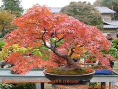 Love this bonsai! Acer Bonsai, Bonsai Art, Bonsai Plants, Bonsai Garden, Garden Trees, Trees To Plant, Bonsai Tree Care, Bonsai Tree Types, Bonsai Trees