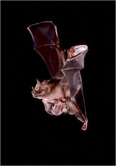 """A mother Jamaican fruit eating bat carrying her baby while flying. Chiroptera, the order of mammals containing bats, means """"hand wing"""". Photo: Bat Conservation International."""