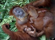 Orangutan with twins