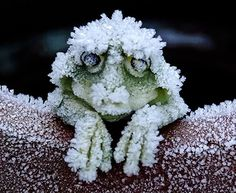 During the cold winters, the Alaskan Wood Frog becomes a frog-shaped block of ice. It stops breathing, and its heart stops beating. When Spring arrives the frog thaws and returns to normal, going along its merry way!