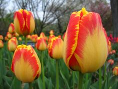 Banja Luka Darwin Hybrid Tulip | Flickr - Photo Sharing!