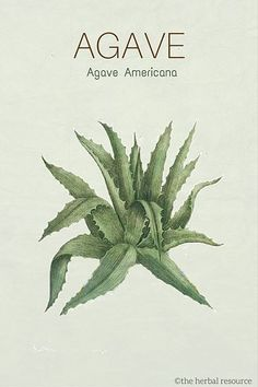 agave herb