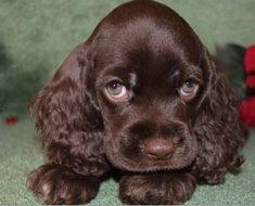 So precious! A Cocker Spaniel puppy