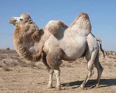 Bactrian camel is one of the rare species of camels, having two humps on their back. Read on to know interesting facts and amazing information on Bactrian camels. Camel Animal, Especie Animal, Mundo Animal, Alpacas, Beautiful Creatures, Animals Beautiful, Camelus, Bactrian Camel, Rare Animals