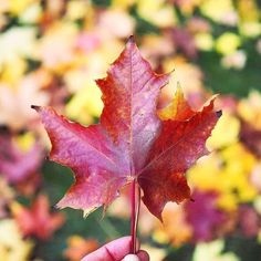 The beautiful colors of #autumn🍁 #autumncolors #fall #fallvibes #naturelovers #leafyishere #syksy #mapleleaf #leaf #enjoyepic #autumnvibes