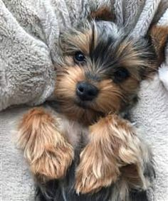 Yorkshire Terrier Welpen sind die süßesten Hunde der Welt, die aus Yorksh … … Yorkshire Terrier puppies are the cutest dogs in the world, coming from Yorksh … – the Yorkies, Yorkie Puppy, Miniature Yorkie Puppies, Puppy Paw, Havanese Dogs, Yorky Terrier, Yorshire Terrier, Cute Puppies, Cute Dogs