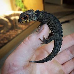 """""""Seems like I've posted a lot from @reptilefanatics lately. But darn they have some great #reptile photos! Here's a fresh Red Eyed Crocodile #Skink ....…"""""""