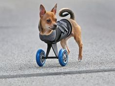 """December 26, 2014- """"TurboRoo"""" puppy has become face, and media star, of 3-D-printed mobility carts for two-legged canines. See video & read more..."""