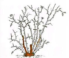 Рис. 3. Обрезка миниатюрных роз