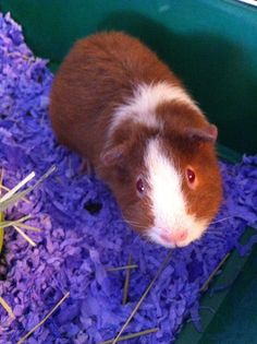 Ruby the teddy guinea pig! #cavy #pets