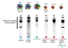 Figure 5 Excised sodium dodecyl sulfate-polyacrylamide gel electrophoresis gels and different formations of hard protein coronas on different polystyrene particle types.