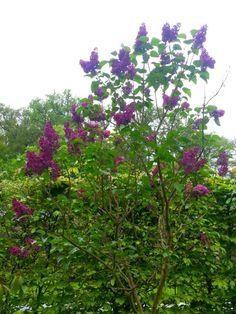 seringenboom in tuin -  bloeiende seringen