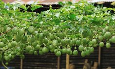 Top Tips for Growing Passionfruit - Info