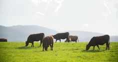 Cows Grazing On Pasture #Agricultural, #Agriculture, #Animal, #AnimalsFeeding, #Beef, #Black, #Brown, #Bull, #Cattle, #Cloud, #Cow, #DairyFarm, #Domestic, #DomesticAnimals, #Drove, #MacroMedia http://goo.gl/rxY7s4
